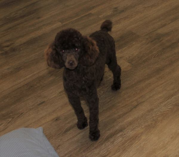 Snickers is an AKC brown male mini poodle